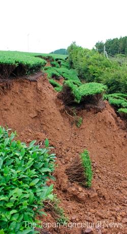 Tea garden collapsed due to heavy rainfalls (in Ureshino City, Saga Prefecture)